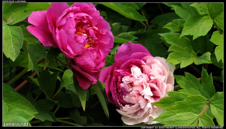 the 36th chinese luoyang peony festival